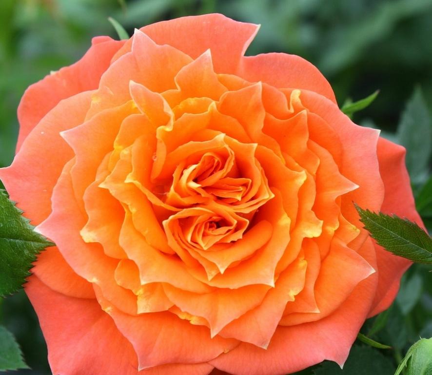 Роза Мандарин  (Mandarin) купить, недорого, отзывы