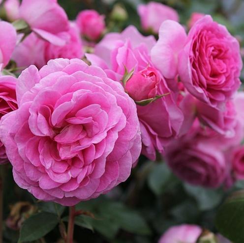 Роза Озеана  (Ozeana) купить, недорого, отзывы