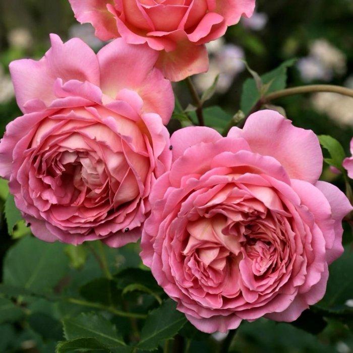 Роза Джубили Селебрейшн  (Jubilee Celebration)  Английская купить, недорого, отзывы