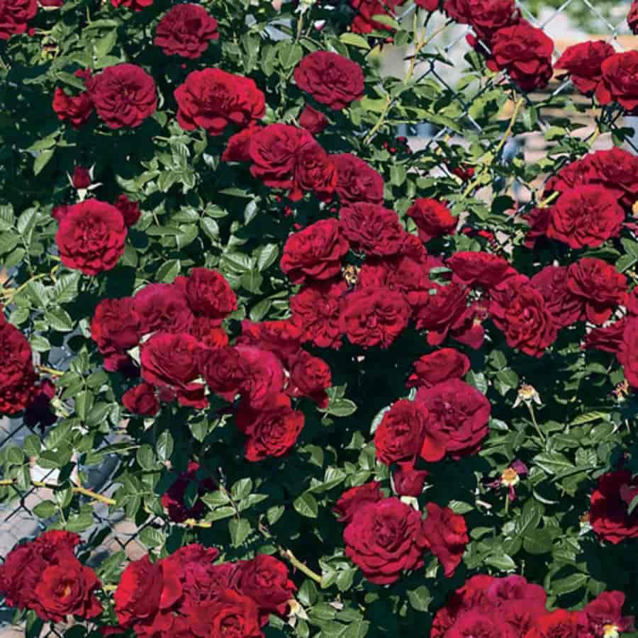 Роза Ред Вильвет (Red Velvet) купить, недорого, отзывы