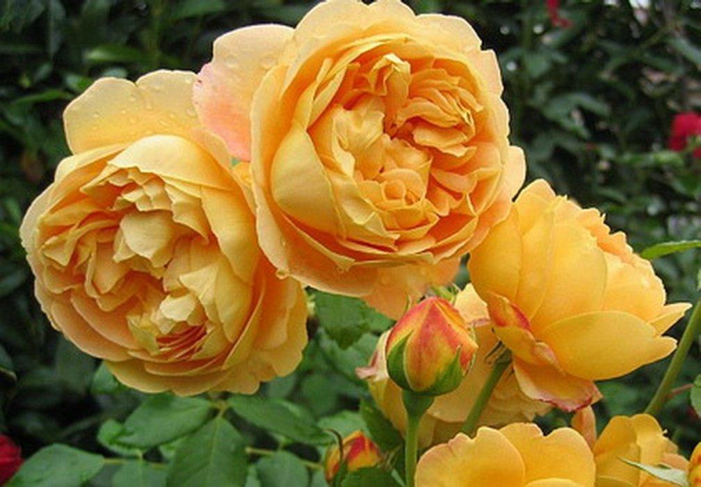 Роза Голден Селебрейшн  (Golden Celebration) купить, недорого, отзывы