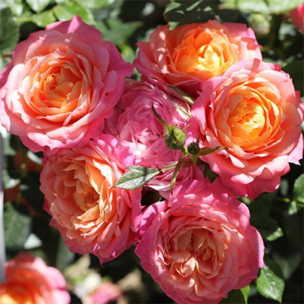 Роза Бриоза  (Briosa) купить, недорого, отзывы