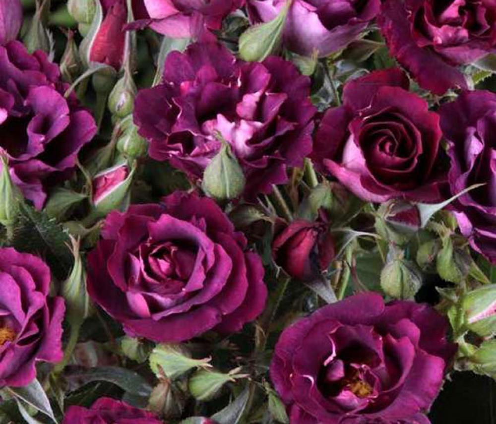 Роза Принцесса Сибилла  (Princess Sibilla de Luxembourg)  Шраб купить, недорого, отзывы