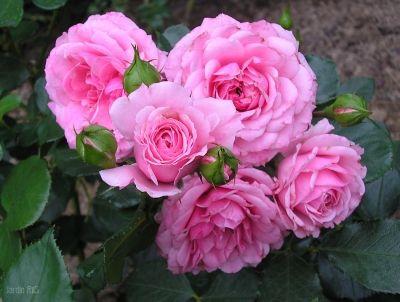Роза Роял Боника  ( Royal Bonica )  Шраб купить, недорого, отзывы