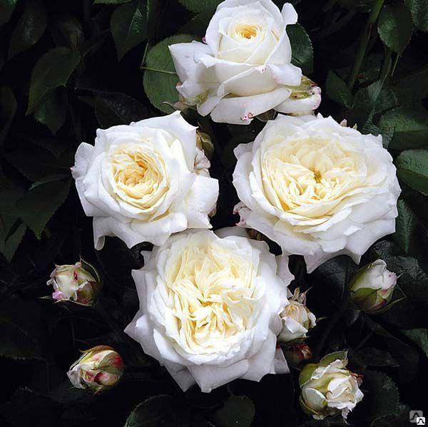 Роза Алабастер  (Alabaster) купить, недорого, отзывы