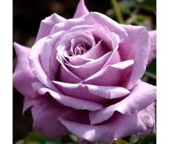 Роза Блю Парфюм  (Blue Parfum) купить, недорого, отзывы