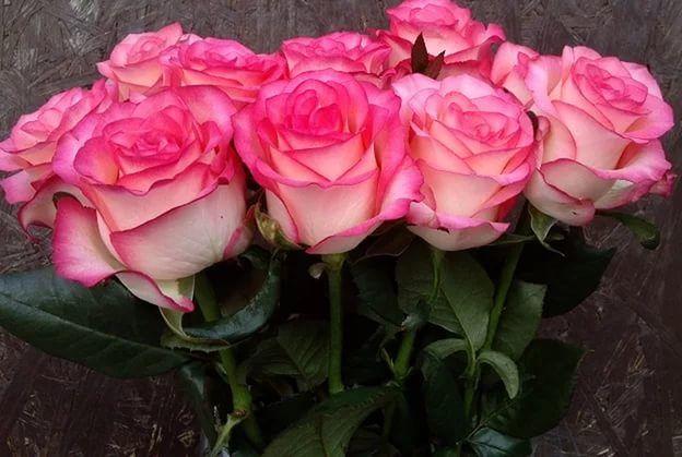 Роза Джумилия  (Jumilia) купить, недорого, отзывы