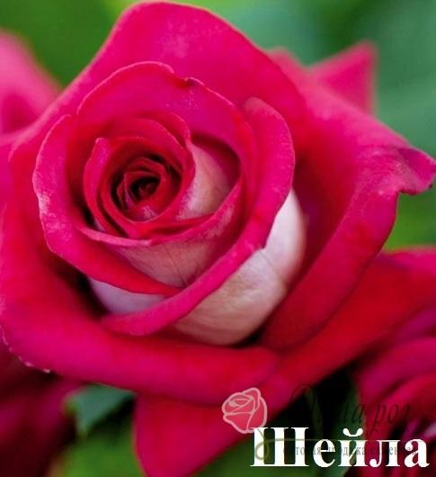Роза Шейла купить, недорого, отзывы