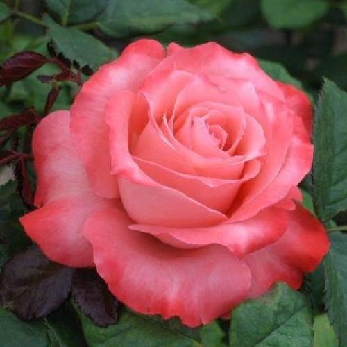 Роза Вижин  (Vision ) купить, недорого, отзывы