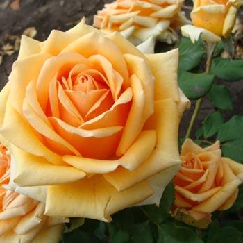 Роза Кингс Прайд  ( Kings Pride) купить, недорого, отзывы