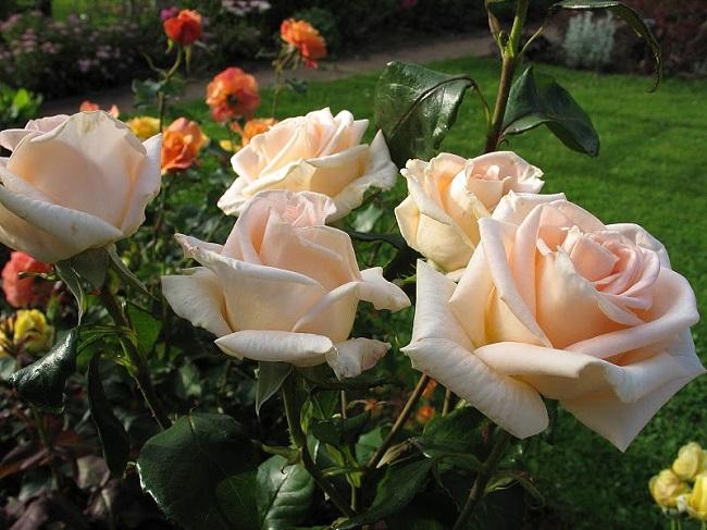 Роза Талея  (Talea) купить, недорого, отзывы