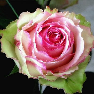 Роза Меджик Мока  (Magic Moka) купить, недорого, отзывы