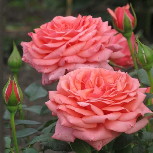 Роза Бермуда  (Bermuda) купить, недорого, отзывы