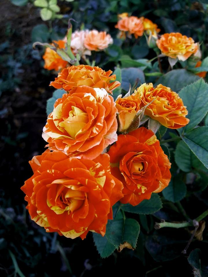 Роза Оранж Сплэш купить, недорого, отзывы
