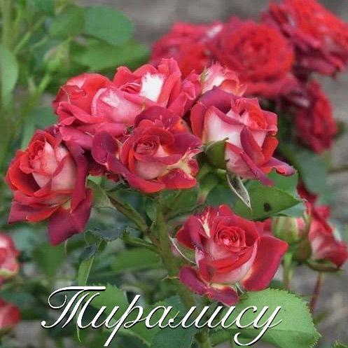 Роза Тирамису  ( Tiramisu) купить, недорого, отзывы