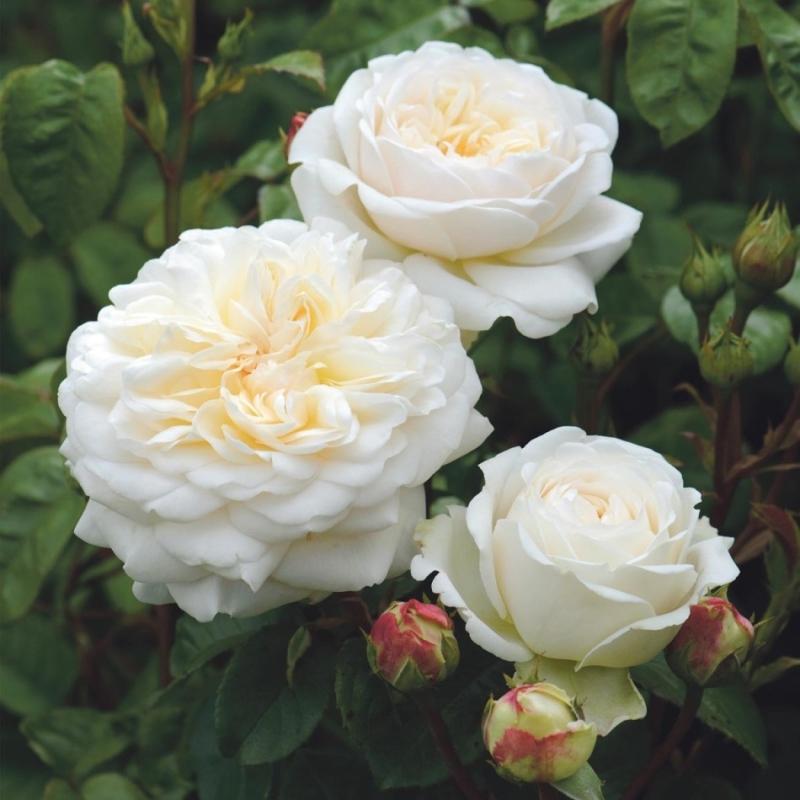 Роза Транквилити  (Tranquillity (Ausnoble) ) купить, недорого, отзывы