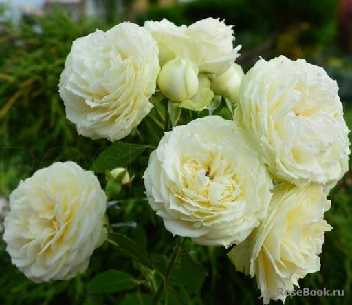 Роза Лемон Рококо  (Lemon Rokoko) купить, недорого, отзывы