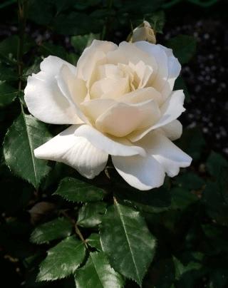 Роза Эдельвейс (Edelweiss) купить, недорого, отзывы