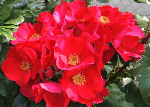 Роза Робуста  (Robusta) купить, недорого, отзывы