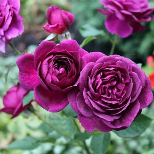 Роза Нью Эйдж  (New Age ) купить, недорого, отзывы