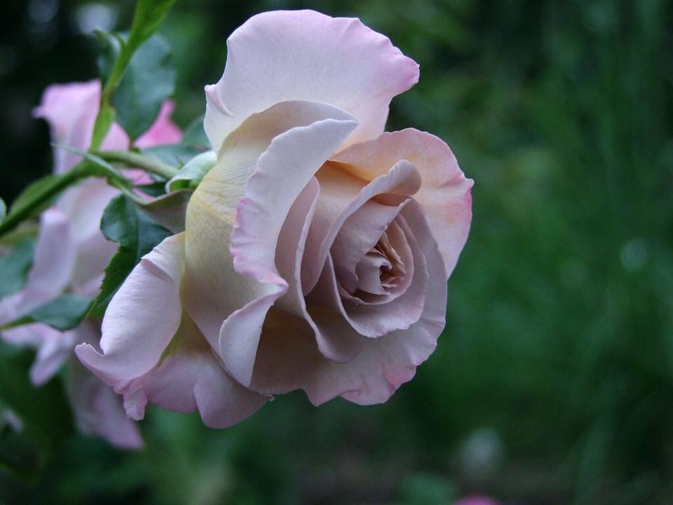 Роза Стивен Руло  (Stephen Rulo) купить, недорого, отзывы