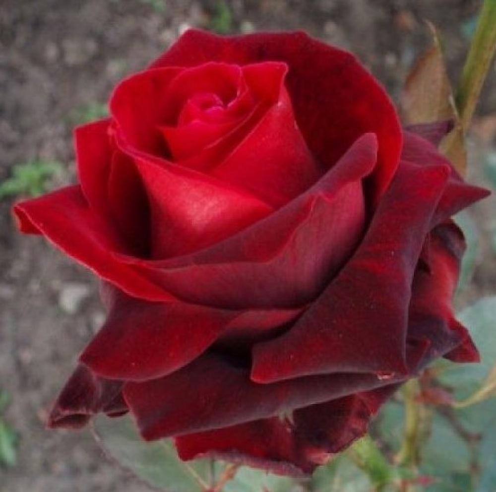 Роза Мадам Дельбар  ( Madame Delbard, Madame Georges Delbard) купить, недорого, отзывы