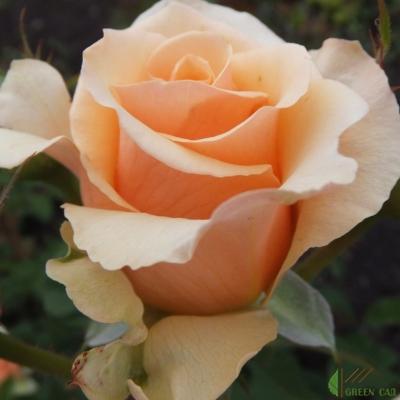 Роза Прима Донна  ( Prima Donna ) купить, недорого, отзывы