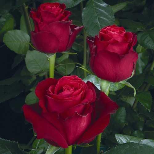 Роза Гранд Гала (Grand Gala) купить, недорого, отзывы