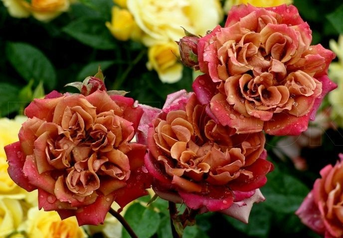 Роза Ча-Ча  (Cha-Cha) купить, недорого, отзывы