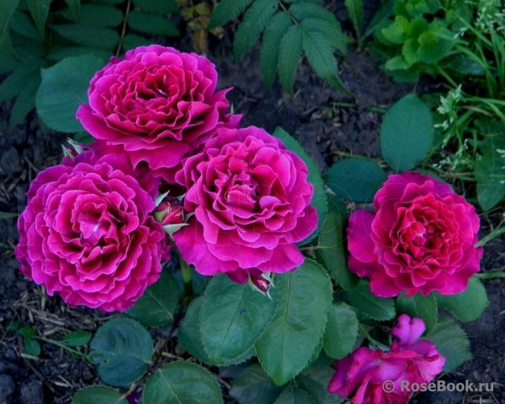 Роза Вагюлет  (Vaguelette) купить, недорого, отзывы