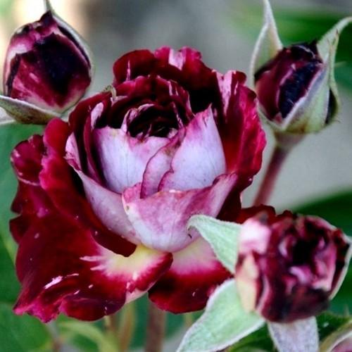 Роза Бель де Сегоза  (Belle de Segosa) купить, недорого, отзывы