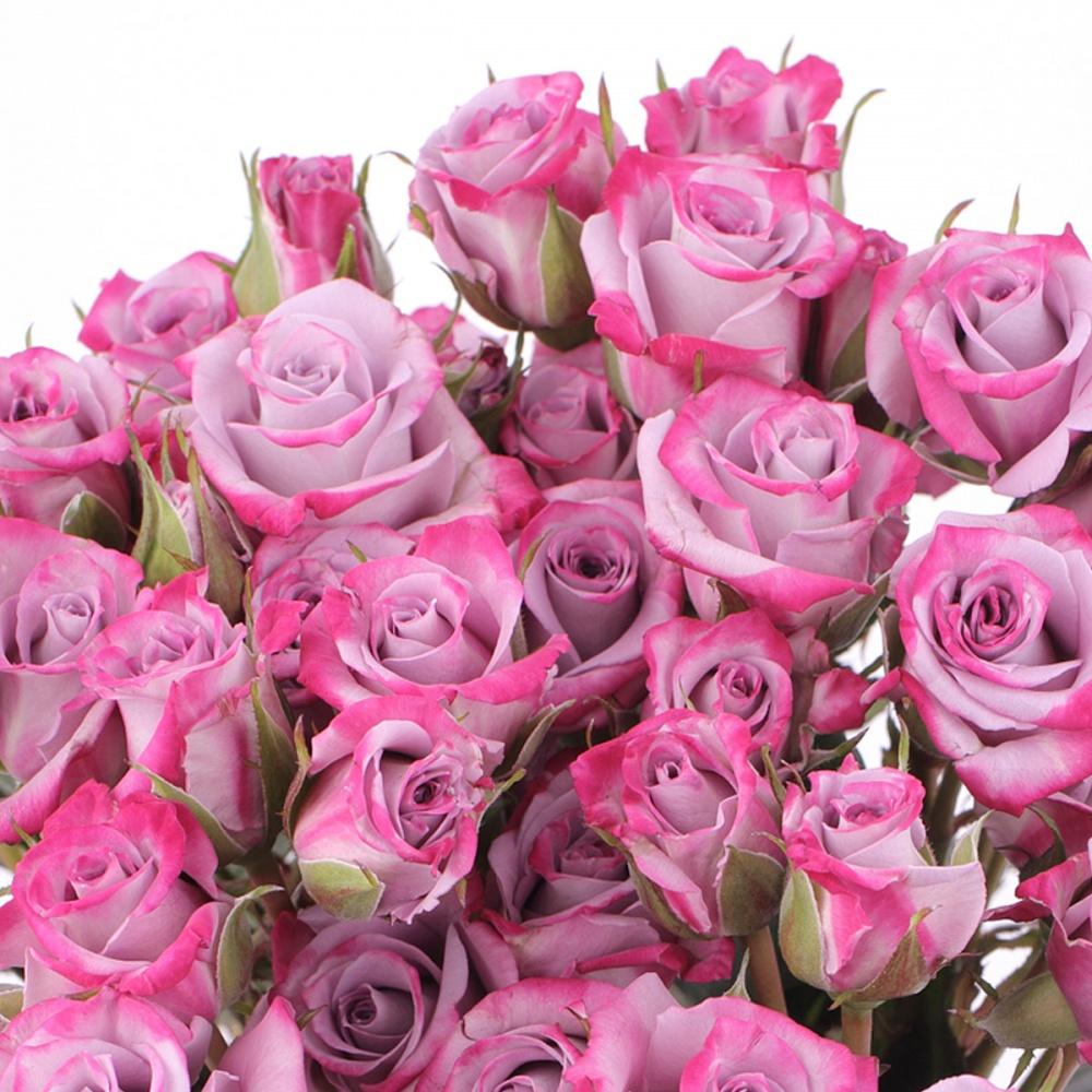 Роза Лавендер Кордана  (Lavender Kordana) купить, недорого, отзывы