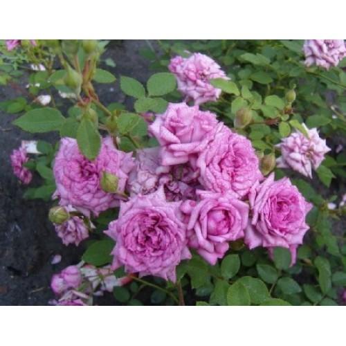 Роза Лавендер Джувел  ( Lavender Jewel ) купить, недорого, отзывы