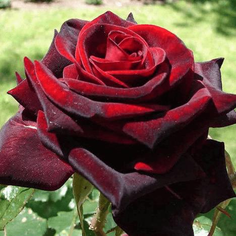 Роза Блек Мейджик (Black Magic) купить, недорого, отзывы