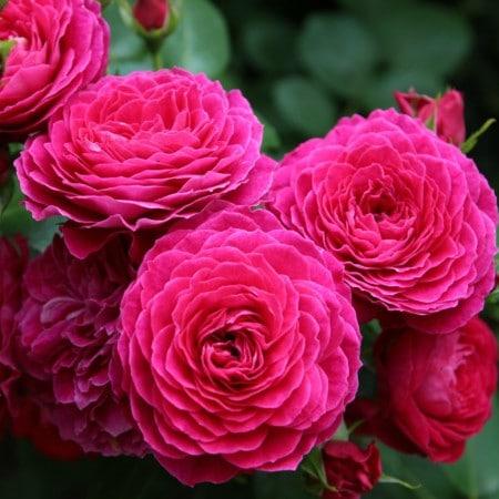 Роза Домен де Сен Жан де Боргар (Domaine de St Jean de Beauregard) купить, недорого, отзывы