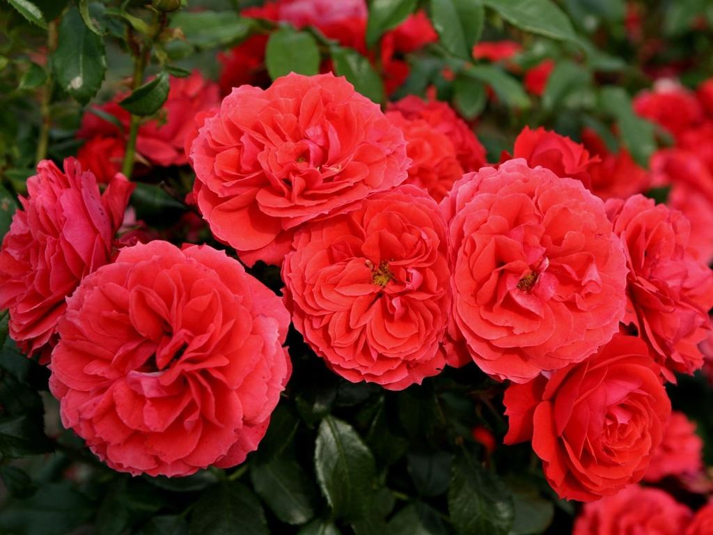 Роза Черри герл ( Cherry Girl) купить, недорого, отзывы