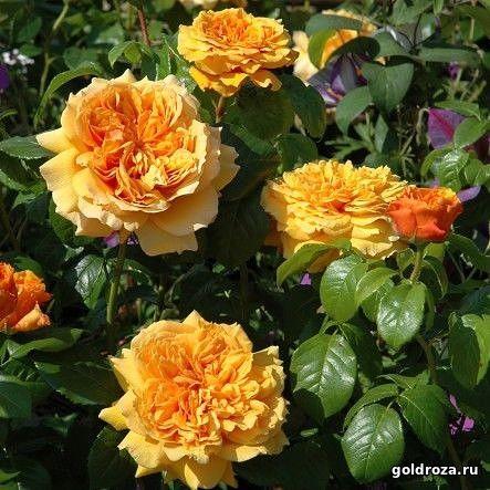 Роза Леа Туту  ( Leah Tutu) купить, недорого, отзывы