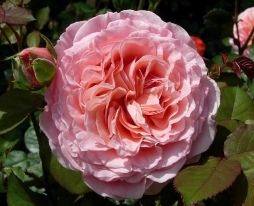 Роза Лоран Каброль  (Laurent Cabrol ) купить, недорого, отзывы