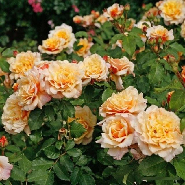 Роза Карамелла  (Caramella ) купить, недорого, отзывы