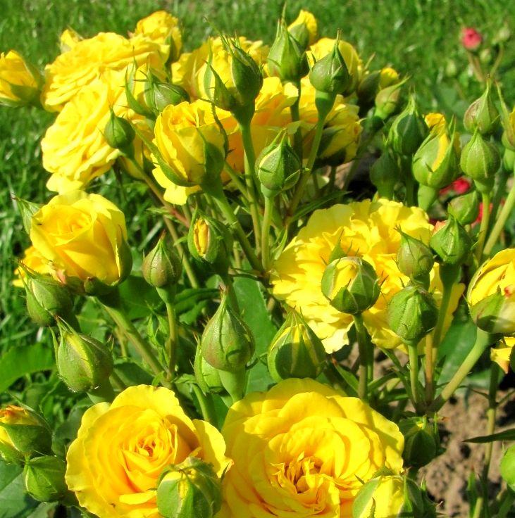 Роза Эллоу  Бейби  (Yellow Babe®) купить, недорого, отзывы