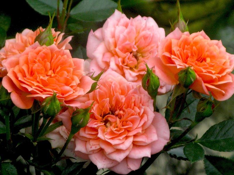 Роза Нинетта  ( Ninetta ) купить, недорого, отзывы