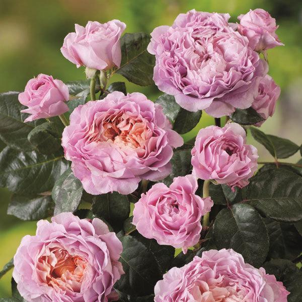 Роза Айсфогель  (Eisvogel) купить, недорого, отзывы