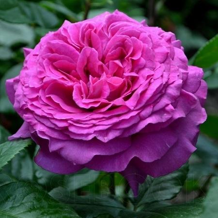 Роза Шартрез де Парм  (Chartreuse de Parme ) купить, недорого, отзывы