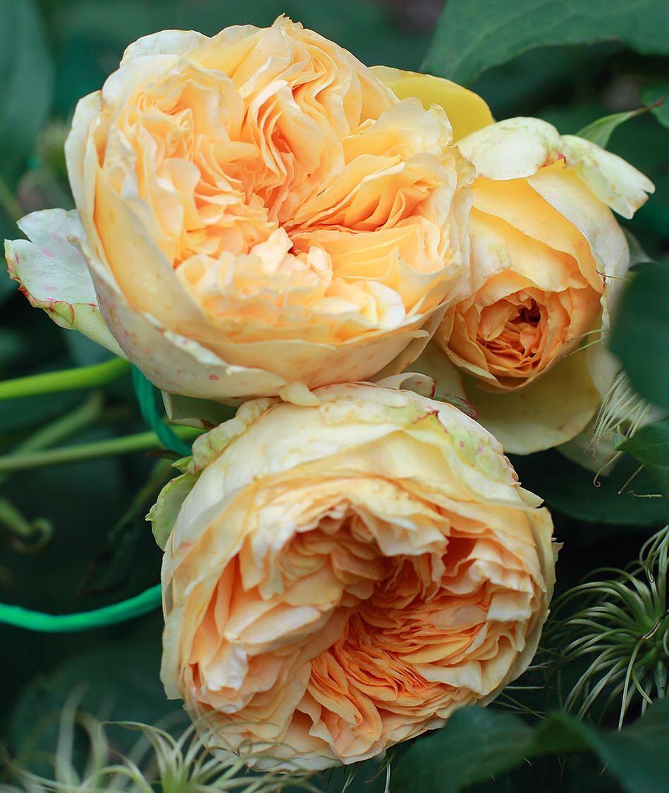 Роза Априкот Скай  ( Apricot Sky ) купить, недорого, отзывы