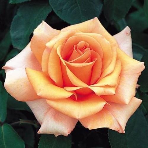 Роза Варм Вишес  ( Warm Wishes) купить, недорого, отзывы