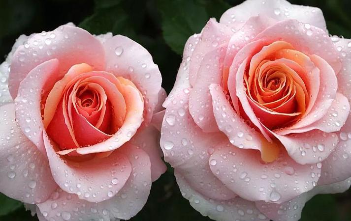 Роза Свит Ревелейшн  ( Sweet Revelation) купить, недорого, отзывы