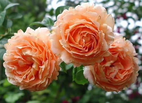 Роза Полька (Polka) купить, недорого, отзывы