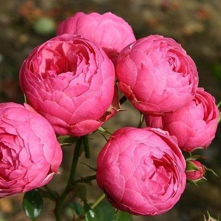 роза Помпонелла  (Pomponella) купить, недорого, отзывы