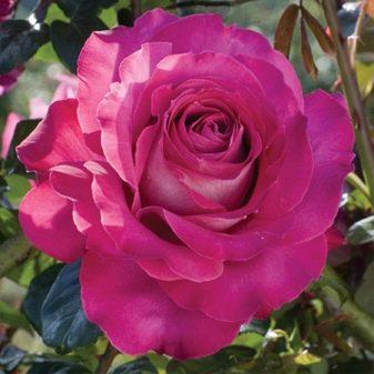 Роза Сиреневый Туман купить, недорого, отзывы