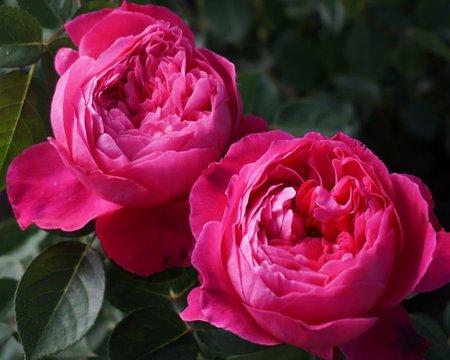 Роза Академия  (Accademia ) купить, недорого, отзывы